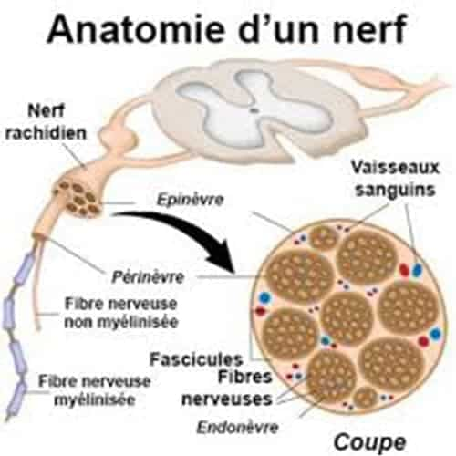 anatomie d un nerf chirurgien epaule main paris chirurgien nerfs paris maladie atteintes nerfs peripheriques docteur patrick houvet