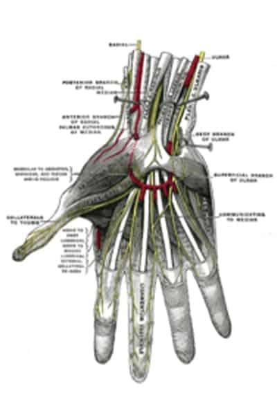 anatomie main nerf nerf median chirurgien main paris chirurgien nerfs paris maladie atteintes nerfs peripheriques docteur patrick houvet