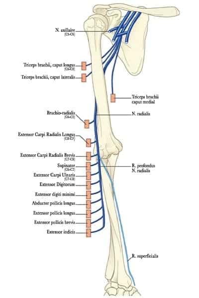 arborisation motrice et sensitive nerf radial au membre superieur droit epaule main paris chirurgien nerfs paris maladie atteintes nerfs peripheriques docteur patrick houvet