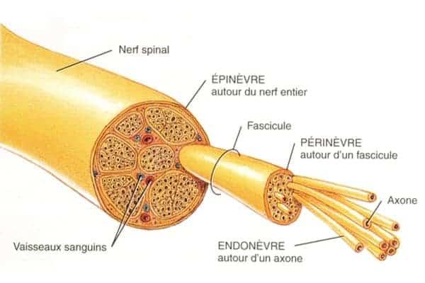 biomecanique des nerfs peripheriques epaule main paris chirurgien nerfs paris maladie atteintes nerfs peripheriques docteur patrick houvet