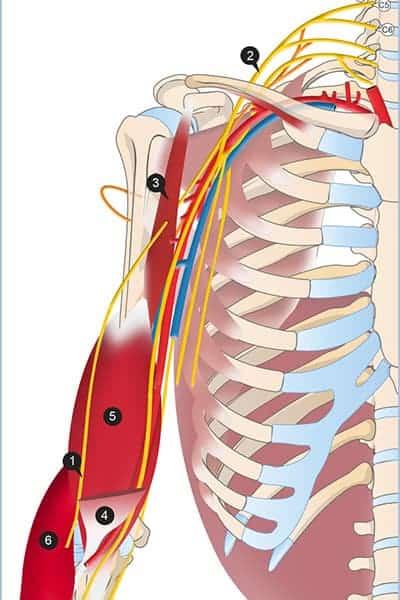 douleur au coude nerf musculo-cutane epaule chirurgien bras paris chirurgien nerfs paris maladie atteintes nerfs peripheriques docteur patrick houvet