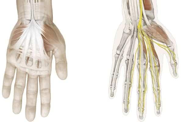 face main gauche et trajet du nerf median epaule main paris chirurgien nerfs paris maladie atteintes nerfs peripheriques docteur patrick houvet