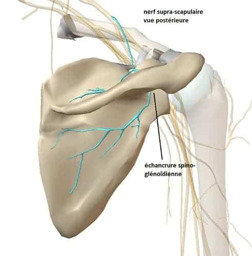 nerf supra scapulaire douleur nerf supra scapulaire chirurgien epaule paris chirurgien nerfs paris maladie atteintes nerfs peripheriques docteur patrick houvet