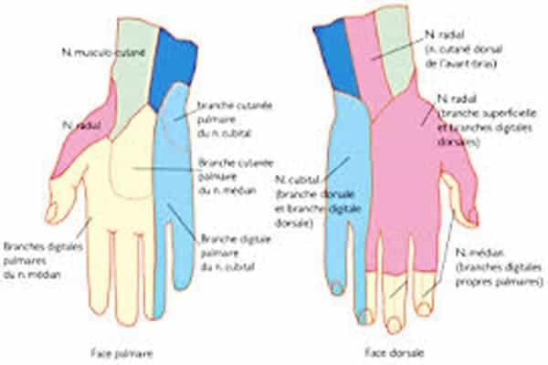 schema main schema d une main chirurgien main paris chirurgien nerfs paris maladie atteintes nerfs peripheriques docteur patrick houvet