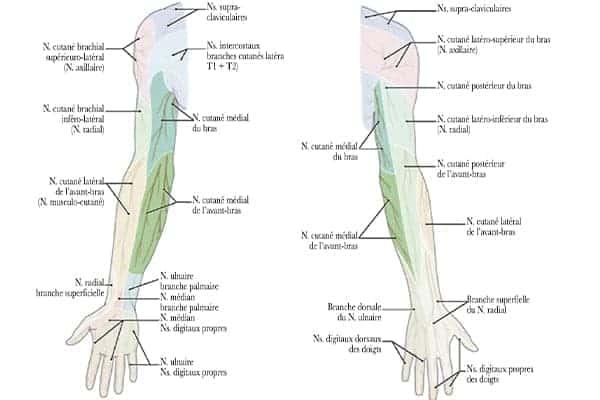territoires d innervation cutanee membre superieur epaule main paris chirurgien nerfs paris maladie atteintes nerfs peripheriques docteur patrick houvet