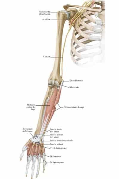 trajet brachial ante brachial palmaire du nerf ulnaire epaule main paris chirurgien nerfs paris maladie atteintes nerfs peripheriques docteur patrick houvet