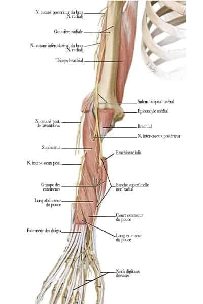 trajet ensemble du nerf radial au membre superieur pronation maximale epaule main paris chirurgien nerfs paris maladie atteintes nerfs peripheriques docteur patrick houvet