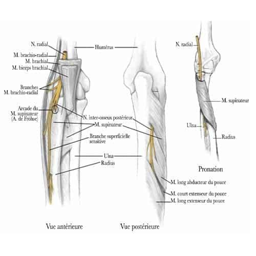 trajet partie terminale du nerf radial au coude origine branche superficielle sensitive nerf inter osseux posterieur epaule main paris chirurgien nerfs paris atteintes nerfs peripheriques dr houvet