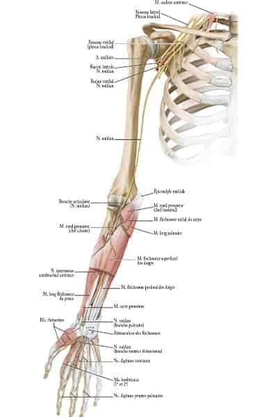 vue anterieure membre droit trajet nerf median epaule main paris chirurgien nerfs paris maladie atteintes nerfs peripheriques docteur patrick houvet