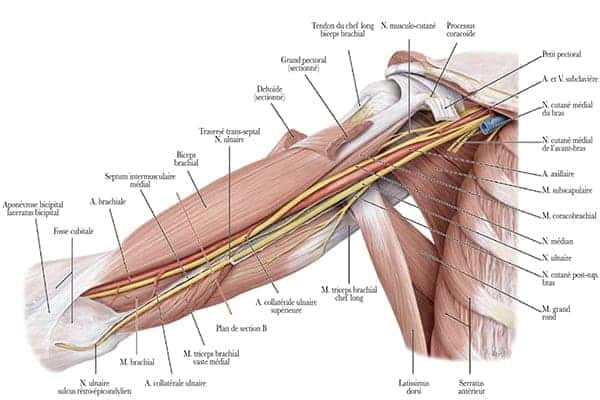 vue antero mediale droite origine fosse axillaire trajet brachial du nerf median epaule main paris chirurgien nerfs paris maladie atteintes nerfs peripheriques docteur patrick houvet